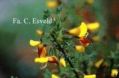 Cytisus 'Andreanus Splendens'