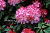 Rhododendron 'Marinus Koster'