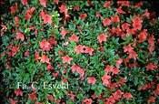 Rhododendron nakaharae 'Deep Orange'