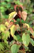 Acer pectinatum 'Mozart'