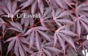 Acer palmatum 'Cristie Ann'