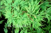 Acer palmatum 'Lemon Chiffon'