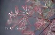 Acer palmatum 'Sumi-shidare'