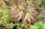 Acer palmatum 'Atropurpureum Variegatum'