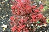 Acer palmatum 'Hime-shojoh'