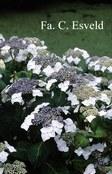 Hydrangea macrophylla 'Blanc Bleu Vasterival'