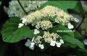 Hydrangea arborescens 'Vasterival'