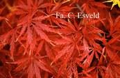 Acer palmatum 'Aka-shidare'
