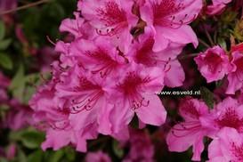 Rhododendron 'Herbert' (Azalea)