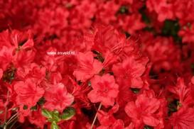 Rhododendron 'Stewartstownian' (Azalea)