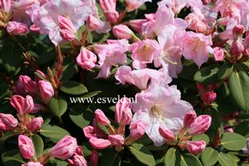 Rhododendron 'Pipaluk'