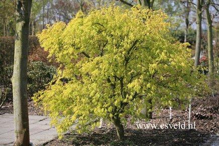 Acer palmatum 'Omura-yama