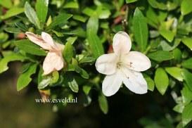 Rhododendron indicum 'Kozan'