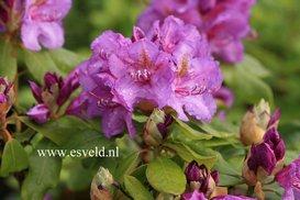 Rhododendron 'Lee's Dark Purple'
