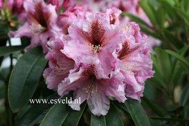 Rhododendron 'Mooreule'
