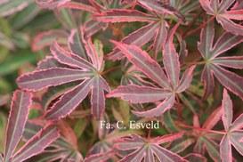 Acer palmatum 'Shirazz'