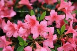 Rhododendron nakaharae 'Marilee'