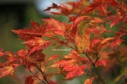 Acer palmatum ssp. amoenum
