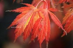 Acer palmatum 'Crimson Carol'