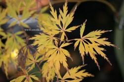 Acer palmatum 'Tatsuta-gire'