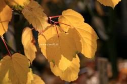 Acer davidii 'Westonbirt'