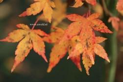 Acer palmatum 'Lydia'