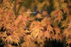 Acer palmatum 'Hatsukoi'