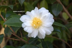 Camellia 'Winter's Cupid'