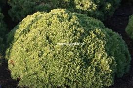 Pinus mugo 'Benjamin'