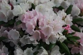 Rhododendron 'Mist Maiden'