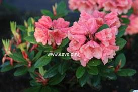Rhododendron 'Amaretto'