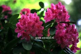 Rhododendron 'Van Weerden Poelman'
