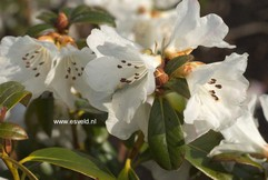 Rhododendron 'Snow Lady'