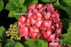 Hydrangea macrophylla 'Rosita'