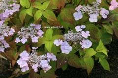 Hydrangea serrata 'Graciosa'
