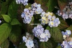 Hydrangea serrata 'Yae-no-amacha'