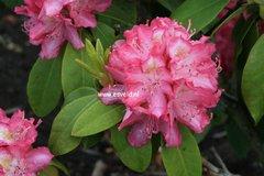 Rhododendron 'Juniperle'