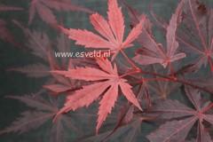 Acer palmatum 'Hyohtei'