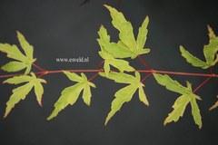 Acer palmatum 'Seuss's Sister'