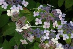 Hydrangea serrata 'Forget Me Not'