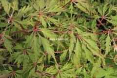 Acer palmatum 'Kyogu-shidare'