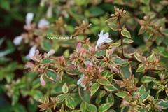 Abelia grandiflora 'Abelops' (SUNSHINE DAYDREAM)
