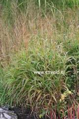 Spodiopogon