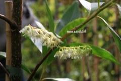 Elaeocarpus