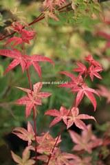 Acer palmatum 'Melanie'