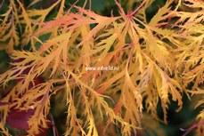 Acer palmatum 'Green Lace'