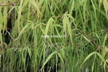 Acer palmatum 'Ao-shime'