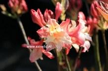 Rhododendron 'Jack A. Sand' (Azalea)