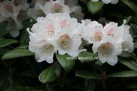 Rhododendron 'Hydon Velvet'