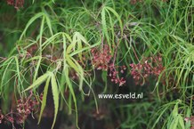 Acer palmatum 'Linearilobum'
